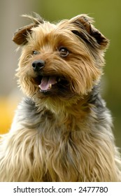 Portrait of a yorkshire terrier dog with green background