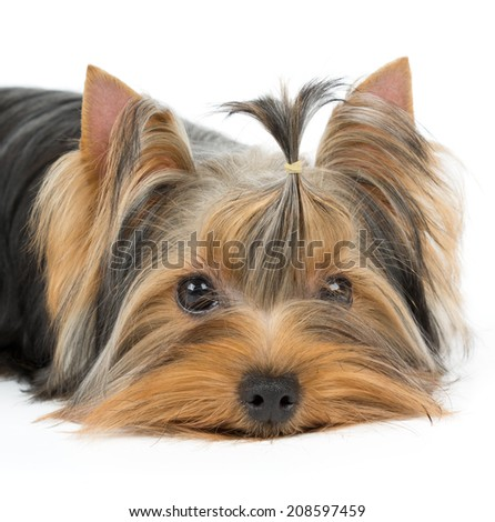 Portrait Yorkshire Terrier Groomed Hair Stock Photo Edit Now