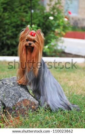 Portrait Yorkshire Terrier Long Hair On Stock Photo Edit Now