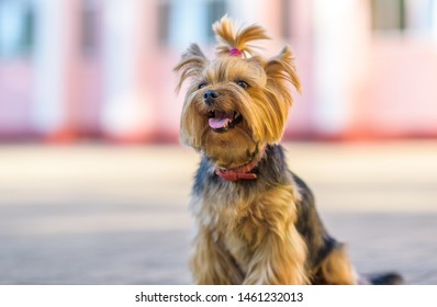 Portrait of the Yorkshire Terrier on a sunny day.
