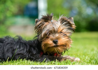 Portrait of a yorkshire terrier puppy lying on the grass
