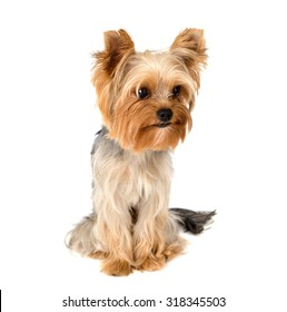 Portrait of Yorkshire terrier pure breed on white background