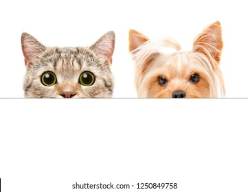 Portrait of  Yorkshire terrier and Scottish Straight cat peeking from behind a banner
