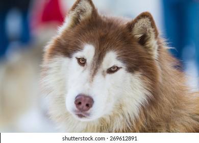 portrait young Alaskan Malamute in the snow