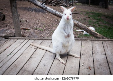 A portrait of a young albino blue-eyed red-necked wallaby kangaroo (aka Bennett's wallaby, Macropus rufogriseus) in a park in South Australia