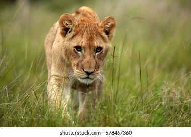A portrait of a young baby lion cub. Photo taken on safari in South Africa.