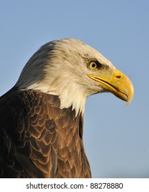 Portrait of a young bald eagle.