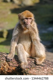 Portrait of young Barbary macaque sitting on a tree made in semi-free park
