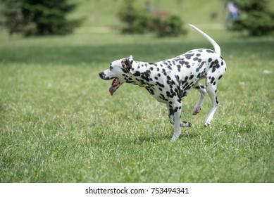 Portrait of young beautiful Dalmatian dog