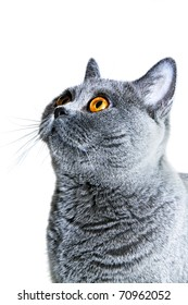 Portrait of Young beautiful gray British cat isolated on white background