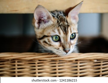 Portrait of a Young Bengal Kitten in her wicker basket