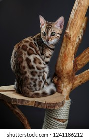 Portrait of  a Young Bengal Kitten on het scratching cat tree