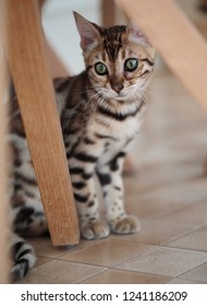 Portrait of a Young Bengal Kitten under the Table
