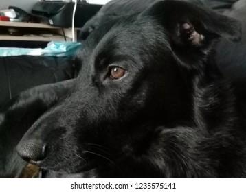 Portrait of young black dog, (rottweiler x) sideways on.