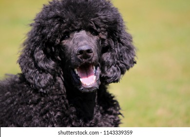 Big Dogs With Short Curly Hair 43