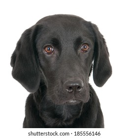 Portrait of a young black labrador, isolated on white
