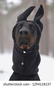 f1f192dc96fa7e The portrait of a young black and tan Doberman dog with cropped ears  sitting on a