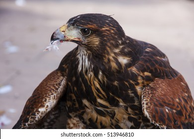 Portrait of a young brown eagle after a meal, with feathers and blood around it's beak