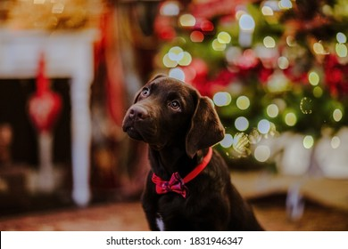 Portrait of young brown Labrador retriever puppy in red tie posing against Christmas background.