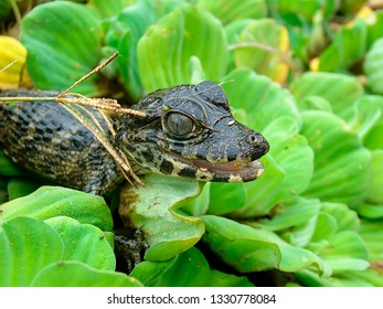 Portrait of a young Caiman (Caiman yacare) sitting on aquatic plants