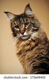 Portrait of a young cat, Maine Coon called Gigi.