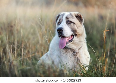 Portrait of a young Central Asian Shepherd dog sitting on a meadow between bents