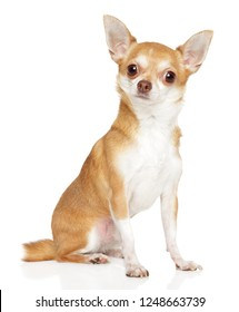 Portrait of a young Chihuahua dog on white background. Animal themes