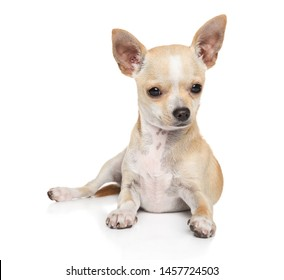 Portrait of a young Chihuahua dog on a white background, front view. Animal themes