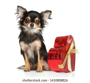 Portrait of young Chihuahua dog  with red Valentine holiday heart on white background