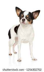 Portrait of a young Chihuahua dog in stand on a white background. Animal themes
