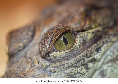 portrait of young crocodile