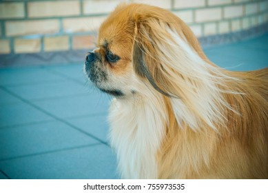 Portrait young cute dog is a human best friend. Pekingese light red color resting at winter holiday enjoying and having fun on the street
