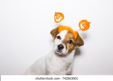 portrait of a young cute dog wearing a funny halloween diadem. White background. Indoors