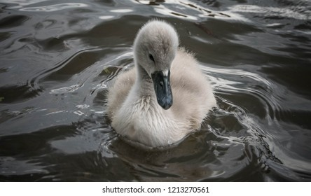 Portrait of a young cygnet on a river