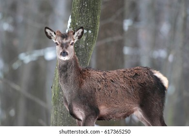 Portrait of a young deer with small horns in winter