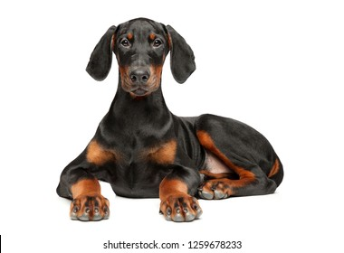 Portrait of a young Doberman puppy on a white background. Animal themes