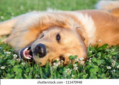Portraiter junger Hund auf der Wiese