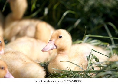 portrait of young duck on the grass