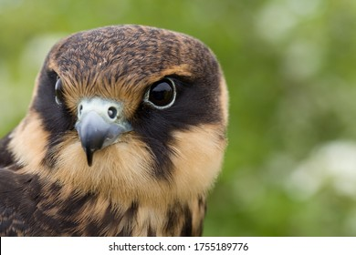 portrait of a young Eurasian hobby (Falco subbuteo) close-up