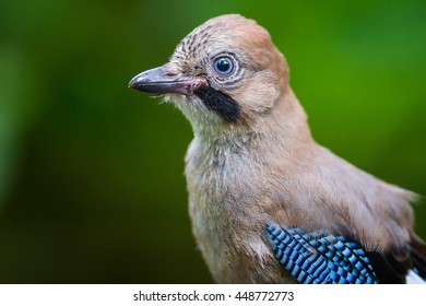 The Portrait of young eurasian Jay