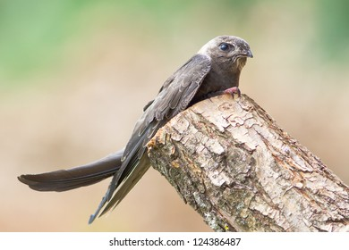 Portrait of an Young Eurasian Swift / Apus apus