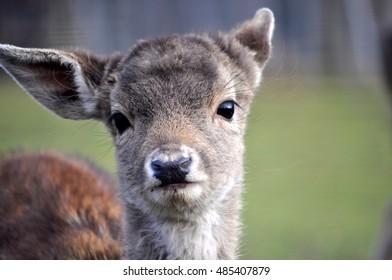Portrait of a young European roe deer (Capreolus capreolus) in Germany