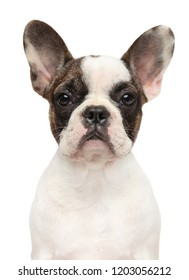 Portrait of a young French bulldog isolated on a white background. Animal themes