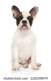 Portrait of a young French bulldog on a white background. Animal themes