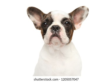 Portrait of a young French bulldog puppy on white background. Animal themes