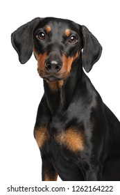 Portrait of a young German Pinscher on a white background. Animal themes
