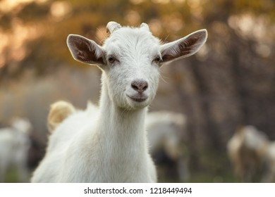portrait of an young goat grazing with a herd in nature, wild animals in autumn, concept of livestock agriculture