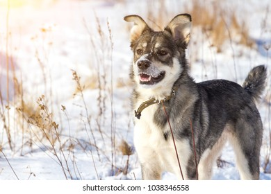 portrait of a young gray cute dog with snow on his nose, toned