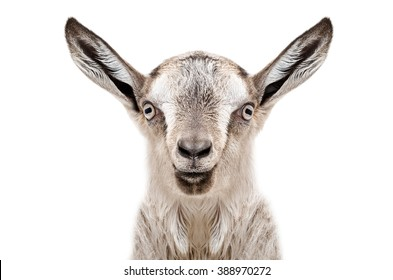 Portrait of a young gray goat, closeup, isolated on white background