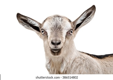 Portrait of a young gray goat isolated on white background